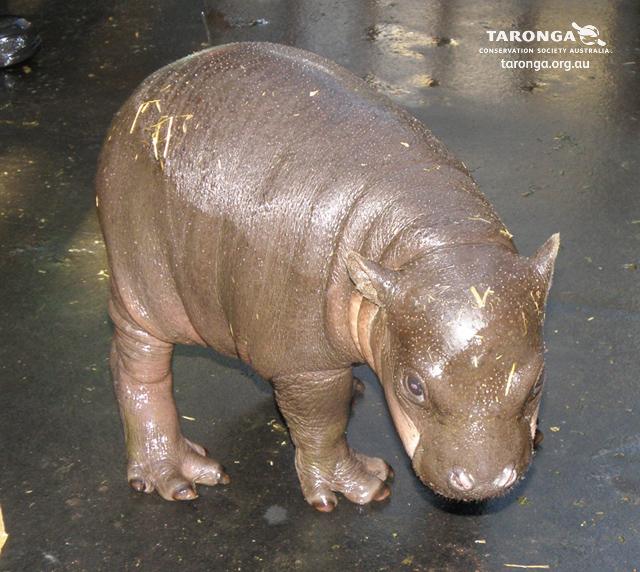 Baby hippo calf taronga zoo 3