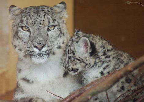 Baby snow leopard cubs Banham Zoo 1