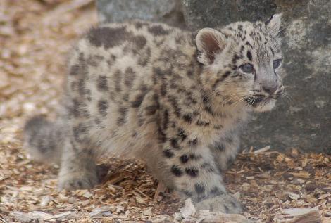 Baby snow leopard cubs Banham Zoo 5