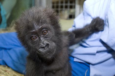 Baby gorilla misha columbus zoo 1