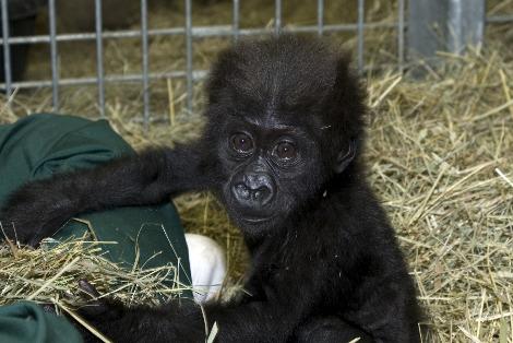 Baby gorilla misha columbus zoo 3
