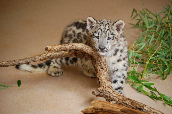 Snow leopard cubs oklahoma city zoo 1