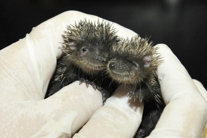 Baby tenrecs bronx zoo 2 rs