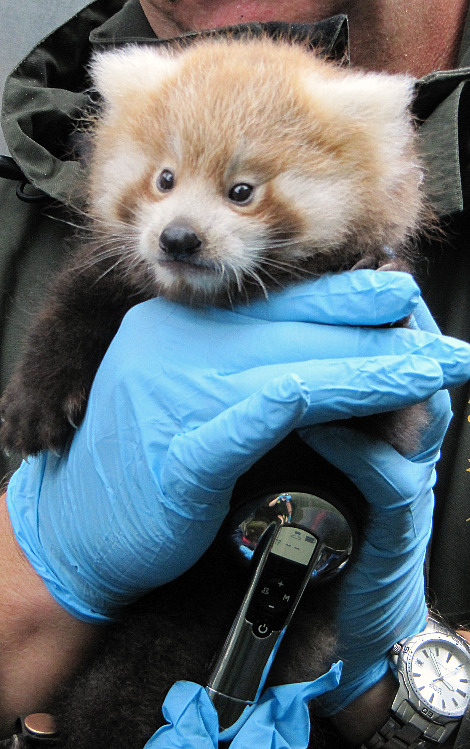 Red Panda Cub Chester Zoo 1