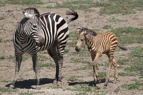 KCZoo Zebra Foal Aug 2010