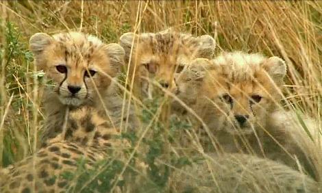 Cheetah cub whipsnade zoo 3