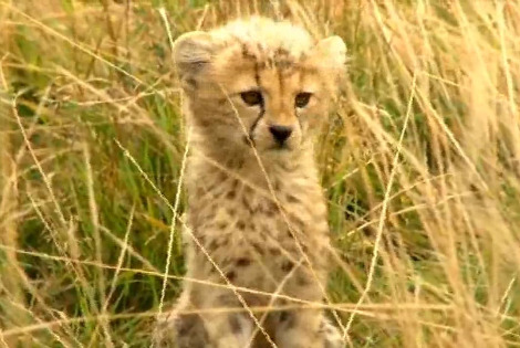 Baby Cheetah Cubs In The Wild