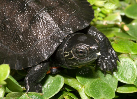 Baby red necked pond turtle tennessee aquarium 1