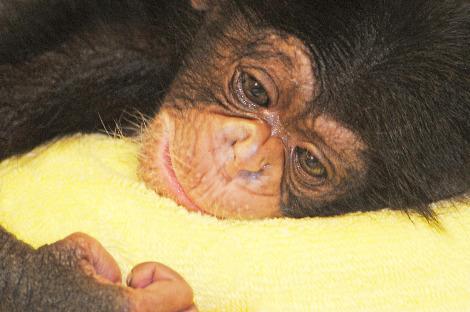 Baby chimp nc zoo 1