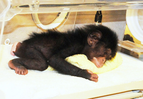 Baby chimp nc zoo 1