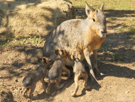 Patagonian cavies shepreth wildlife park 3