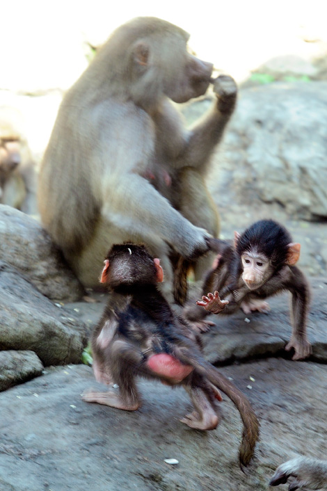 _julie-larsen-maher-0276-hamadryas-baboon-babies-PPZ-8-26-10[1]