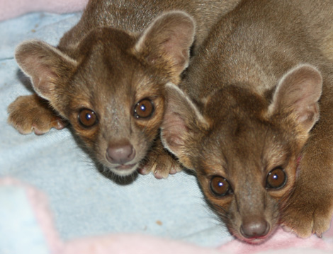 Fossa-Pups-Press-Release-Photo