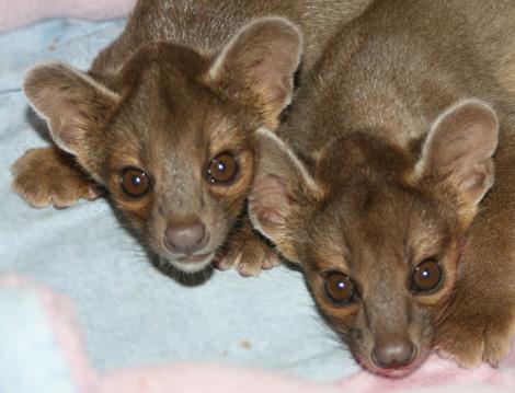 Fossa-Pups-Press-Release-Photo