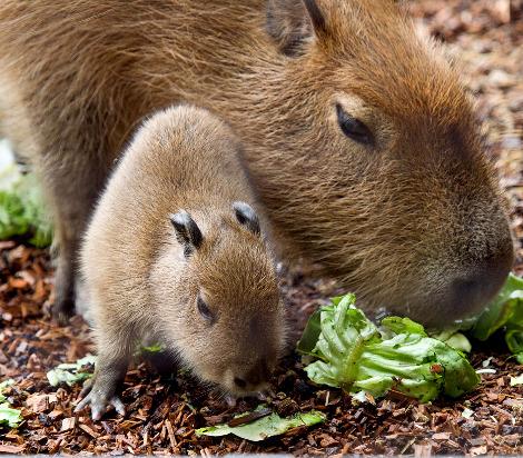 World's Largest Rodent Born at Paignton Zoo - ZooBorns