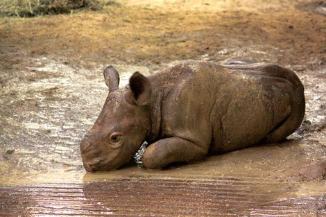 Cleveland-Black-Rhino-1