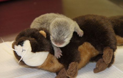 Asian small clawed otter pup longleat 1b