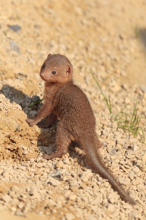 Baby dwarf mongoose chester zoo 1rs