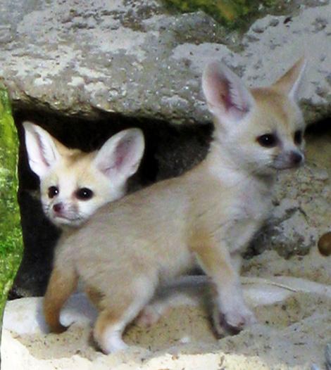 Fennec-Cubs-4