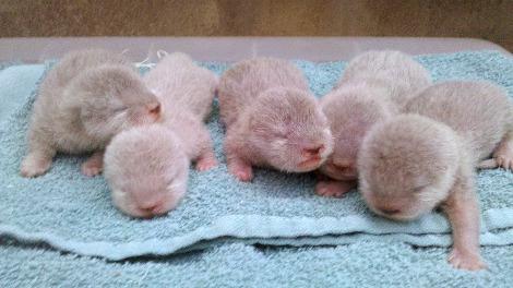 Asian small clawed otter pups santa barbara zoo 1b
