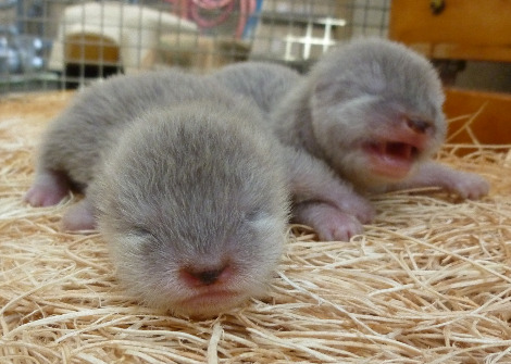 Asian small clawed otter pups santa barbara zoo 1b