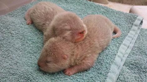 Asian small clawed otter pups santa barbara zoo 6b