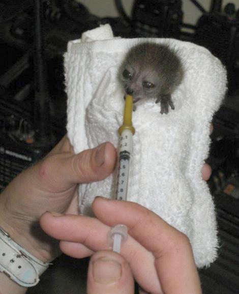 Baby sambirano lemur 1