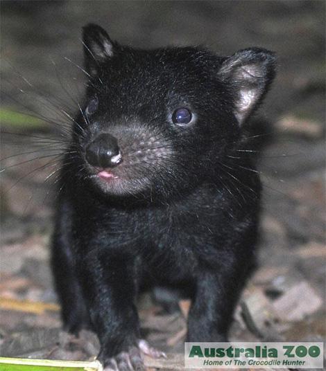 Tasmanian devil australia zoo