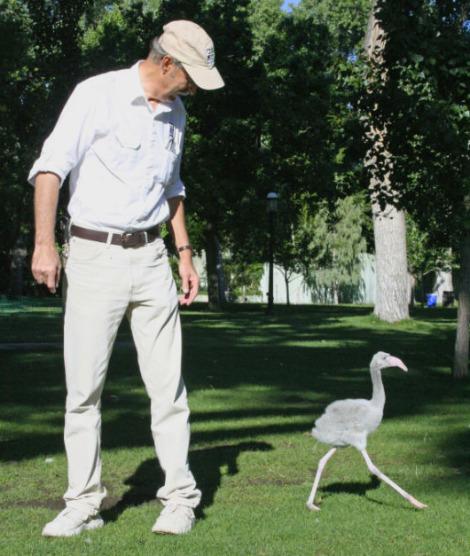 Baby flamingo chick abq biopark 1