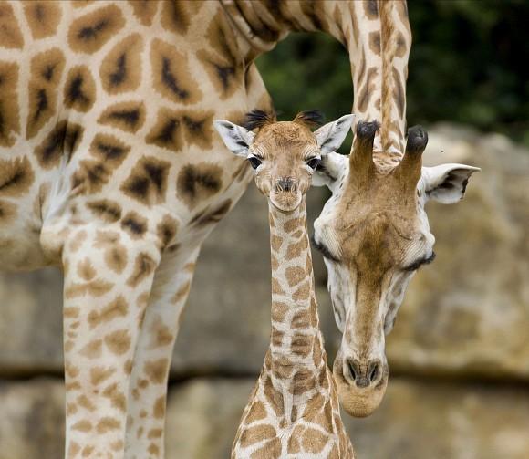 Endangered Giraffes Born At Longleat Zooborns
