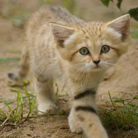 Sand Cat Kitten For Sale