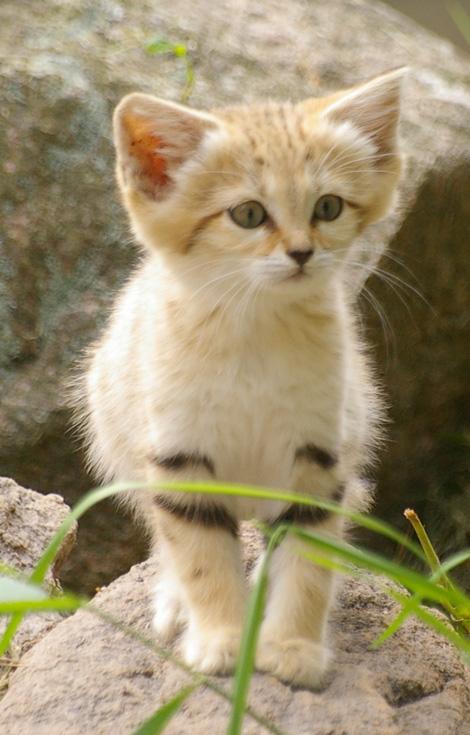Sandcat6