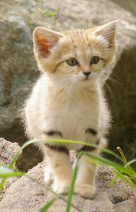 sandcat6 sandcat2 baby sand cat