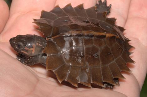 Tennessee_turtle_1