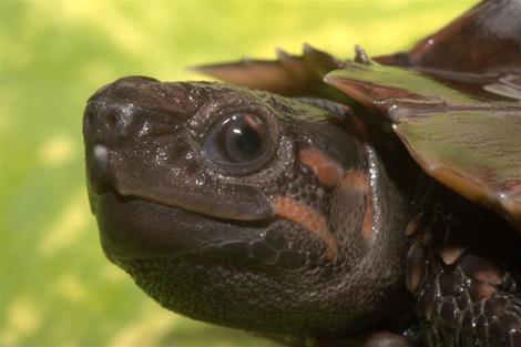 Tennessee_turtle_3