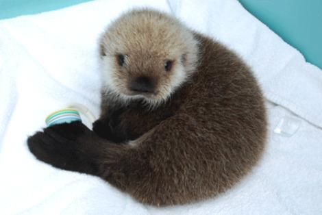 Baby sea otter tazo ny aquarium 2