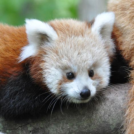 Binder-park-red-panda