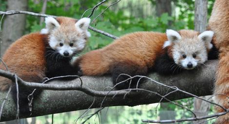 Binder-park-red-panda2