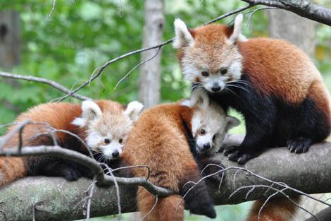 Binder-park-red-panda5