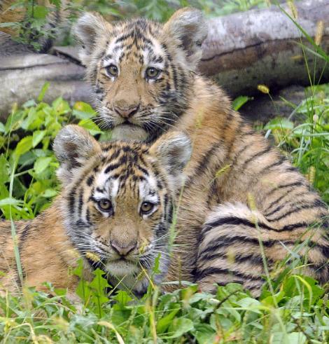 Amur tiger cubs bronx zoo 1a