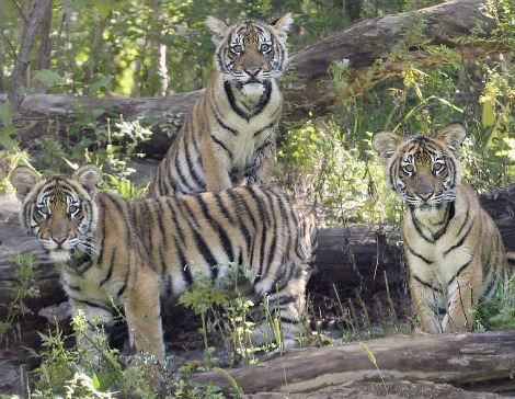 Malayan Tiger Cubs Bronx Zoo 1a