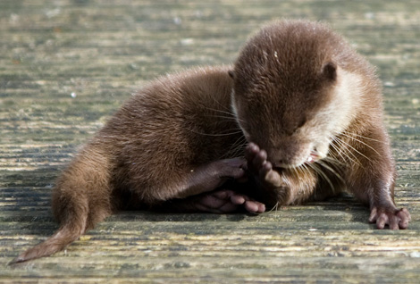 Otter-from-blackpool-4