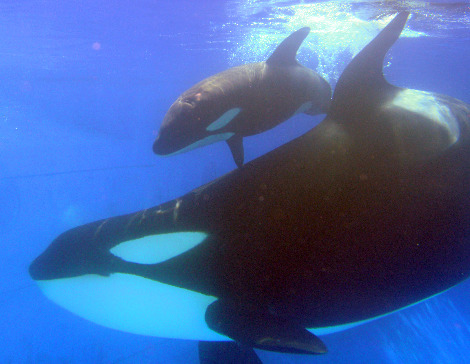 Katina, bottom, and her new calf swim at Shamu Stadium.  The calf was born on oct 9_D