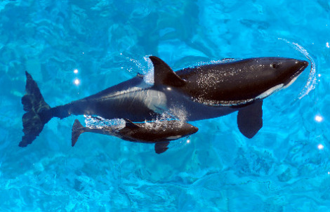 Katina, left, and her new calf swim at Shamu Stadium