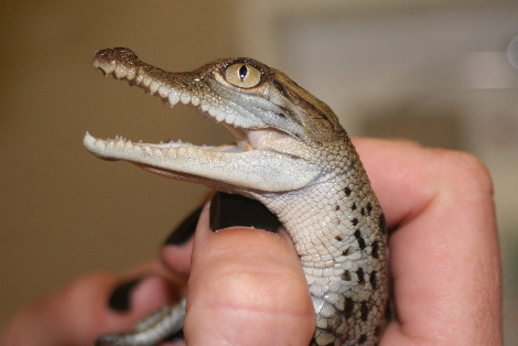 Baby crocodiles st. augustine crocodile farm 1