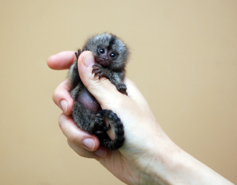 Finger Monkey Full Grown
