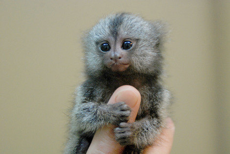 Baby marmoset monkey everland zoo 1