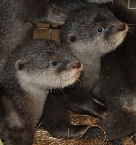 Otter-pups-4---8-weeks---Sheri-Horiszny