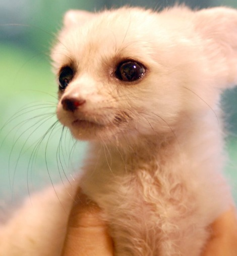 Baby fennec fox pup everland zoo 1