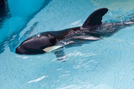 Orca-baby-1